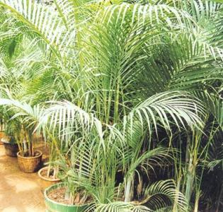 Best Indoor Tree - Pygmy Date Palm