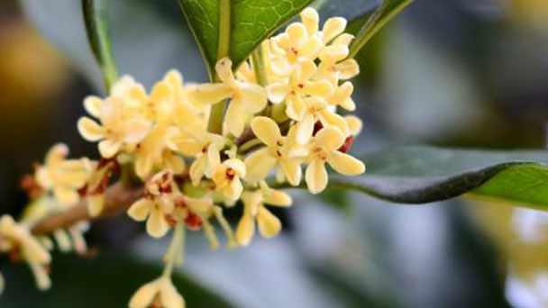 Bay laurel (Laurus nobilis) profile