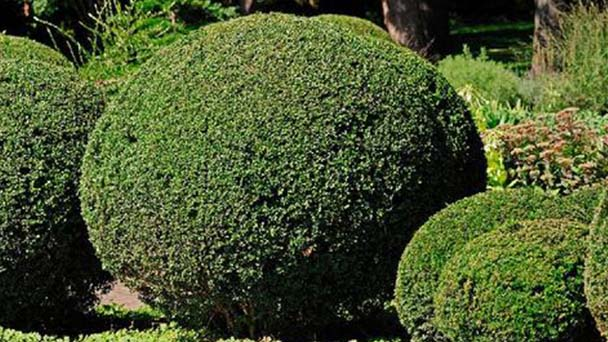 Buxus sempervirens (boxwood) profile