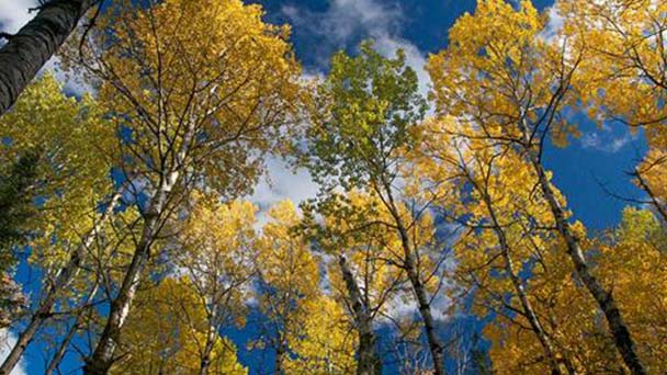 Dwarf alberta spruce (Picea glauca) profile