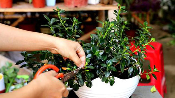 How to grow and care for firecracker vine