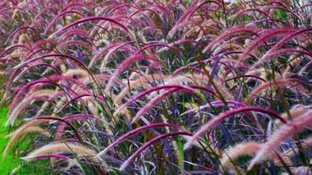 Fountain grass (Pennisetum setaceum 'Rubrum') profile