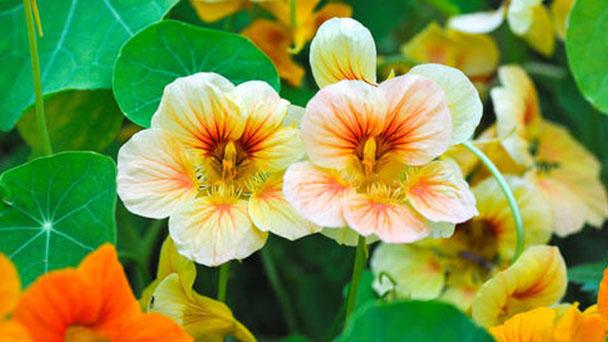 How to grow and care for Nasturtium