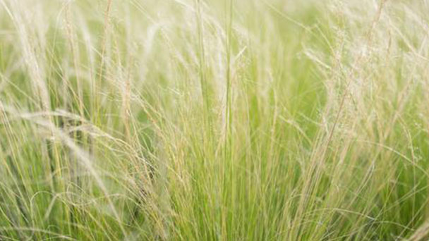Feather reed grass (Calamagrostis acutiflora) profile