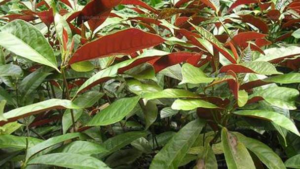 Chinese croton (Excoecaria cochinchinensis) profile