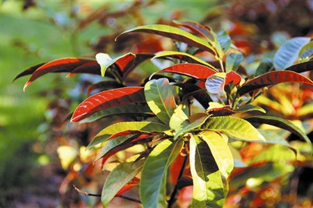 Chinese Croton care