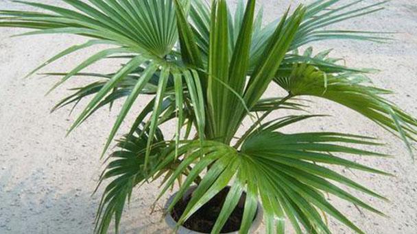Chinese fan palm (fountain palm) profile