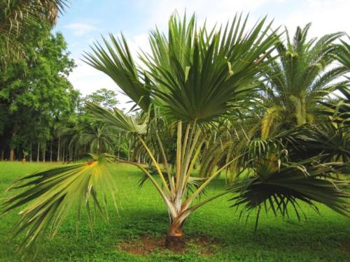 Best Indoor Tree - Chinese Fan Palm