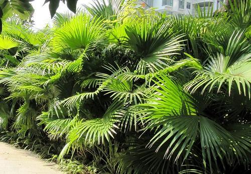 care for Chinese fan palm