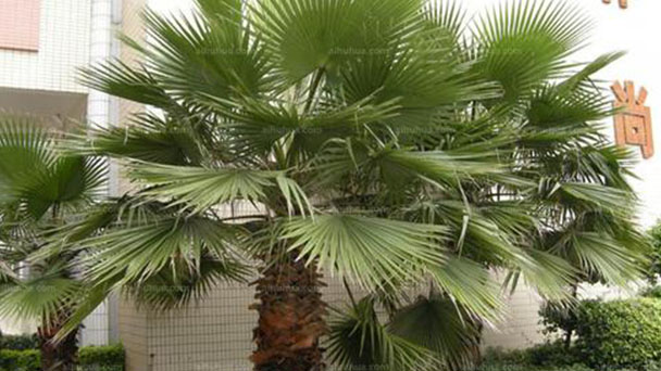 How to grow and care for Chinese fan palm