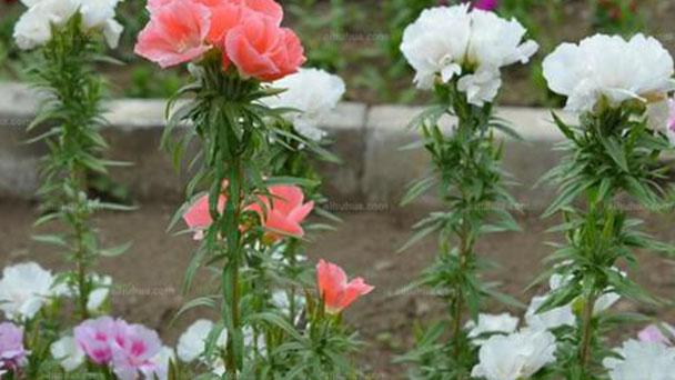 Godetia (Satin flower) profile