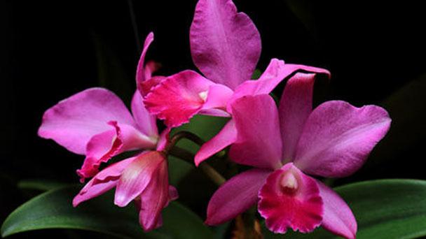 Cattleya orchid profile