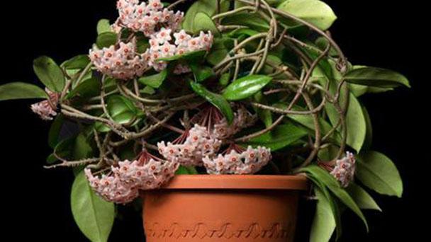 Hoya plant profile