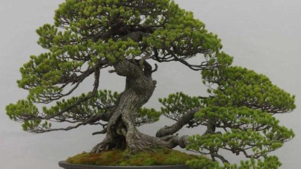 Japanese white pine (Pinus parviflora) profile