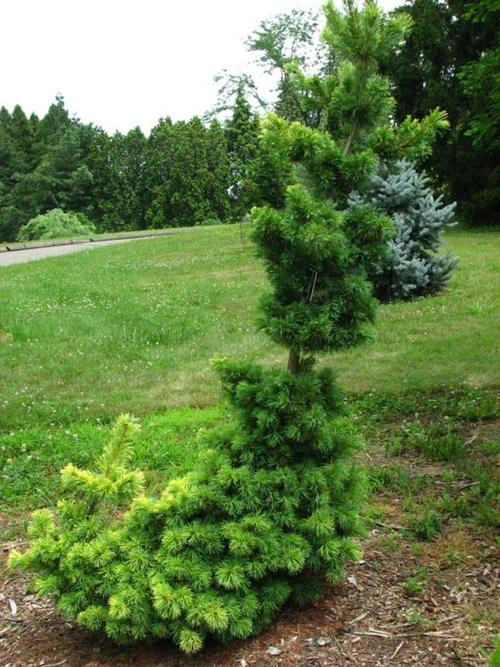 care for Japanese white pine