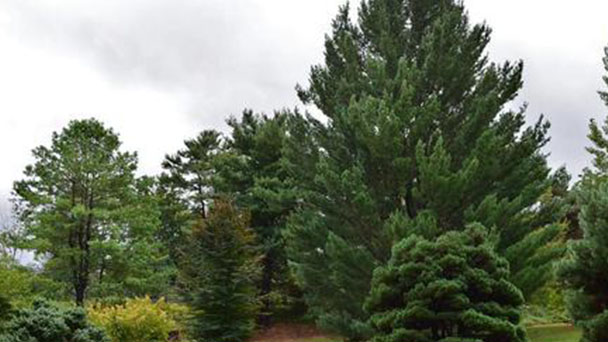 How to grow and care for Japanese white pine (Pinus parviflora)