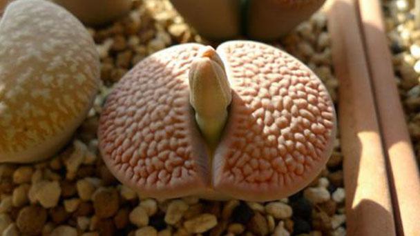 Lithops turbiniformis profile