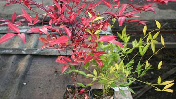 Nandina (heavenly bamboo) profile