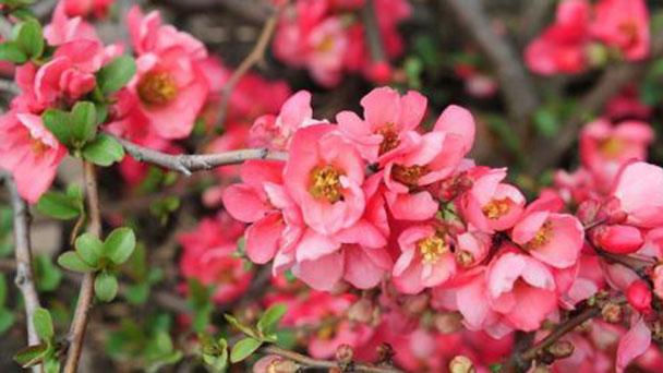 Chaenomeles japonica ( Japanese quince) profile