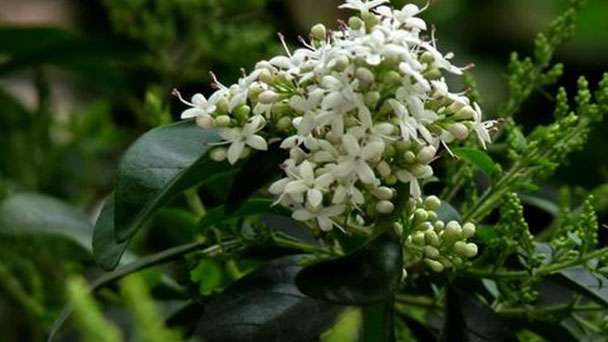 Chinese privet (Ligustrum sinense) profile