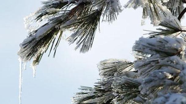 How to grow and care for Deodar cedar