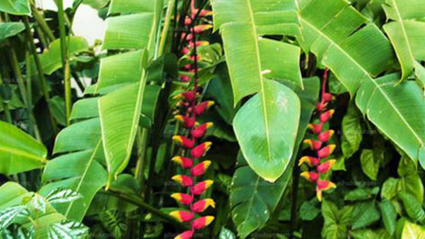 Heliconia (Lobster claw) profile