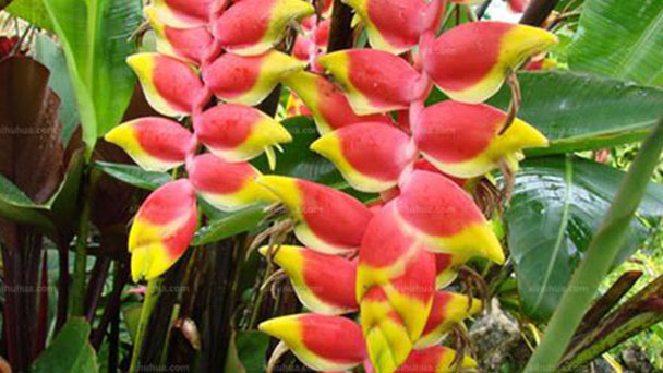 How to grow and care for Heliconia