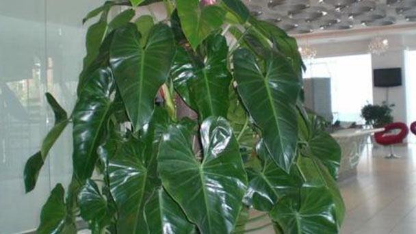 How to grow and care for Philodendron