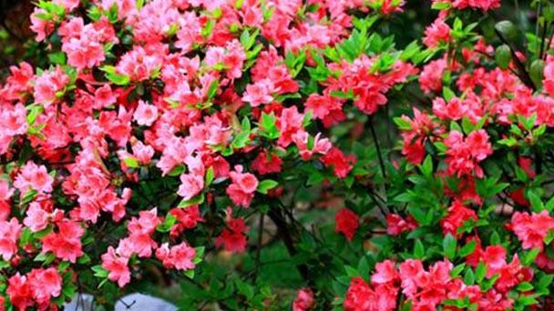 Rhododendron profile