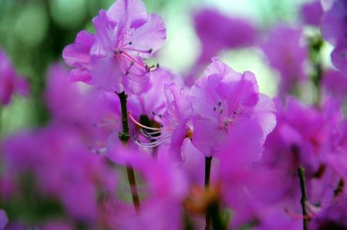 care for Rhododendron