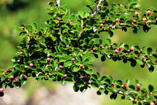 How to grow and care for rock cotoneaster