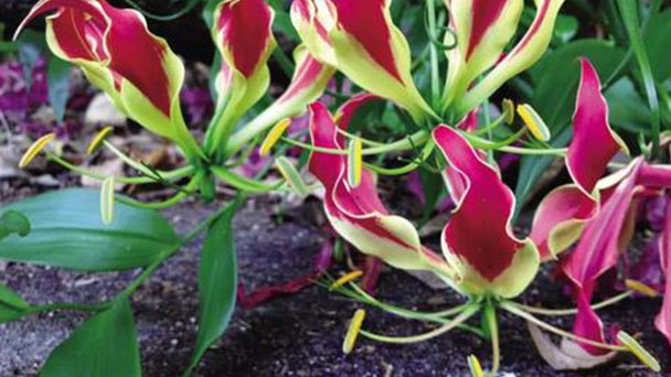 Climbing lily (Gloriosa lily) profile