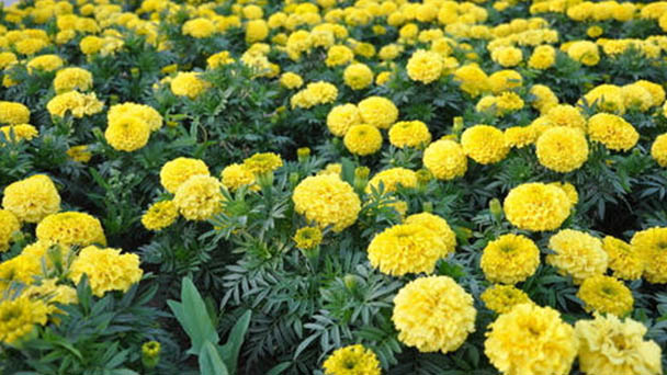 How to grow and care for marigold