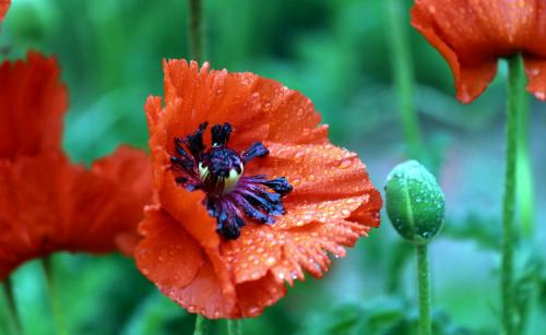 care for oriental poppy