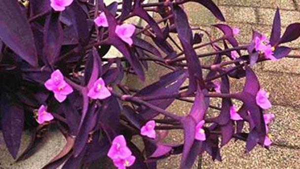Purple heart plant (Tradescantia pallida) profile