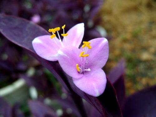 care for purple hearts
