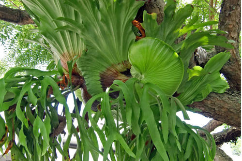 care for staghorn fern