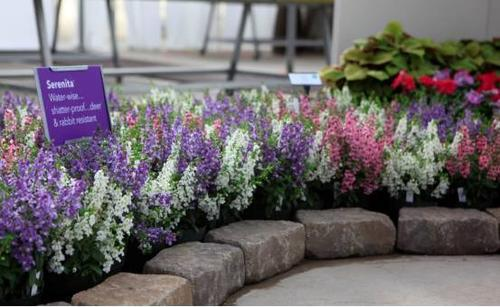 care for Angelonia