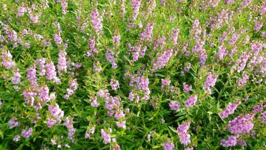How to grow and care for Angelonia