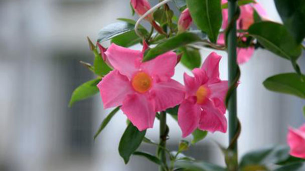 How to grow and care for Mandevilla