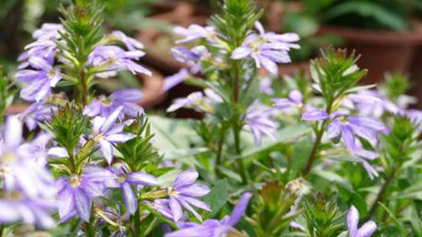 Scaevola (fairy fan flower) profile