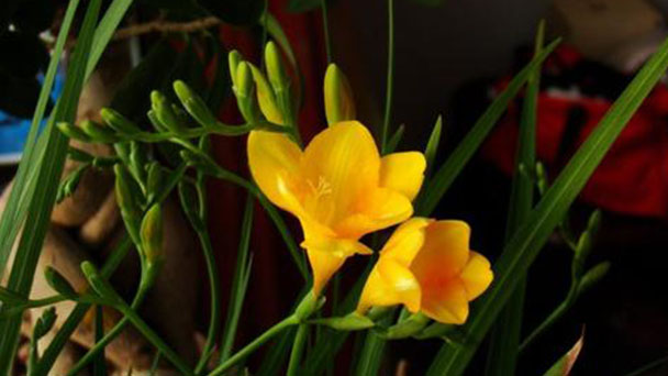 Vanilla bean orchid (Vanilla plantifolia) profile