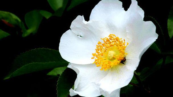 Cherokee rose (Rosa laevigata) profile