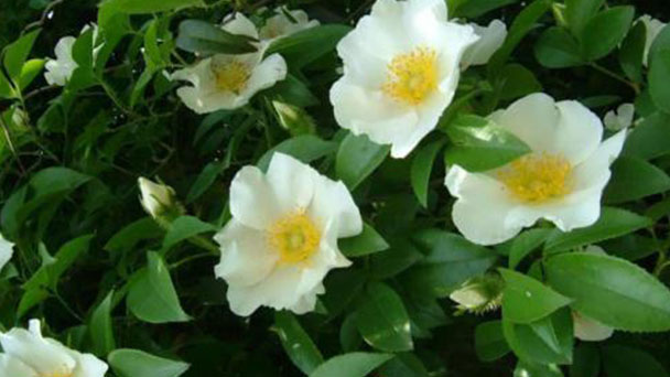 How to grow and care for cherokee rose