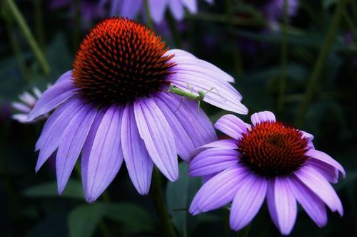 care for purple coneflower