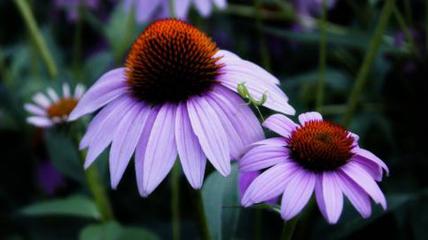 How to grow and care for purple coneflower