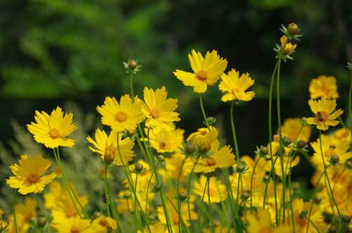 Coreopsis care