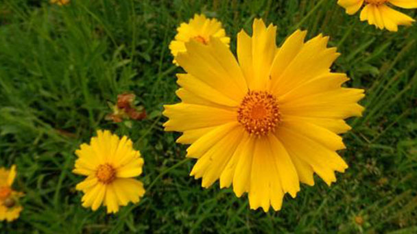 Columbine (Aquilegia viridiflora) profile