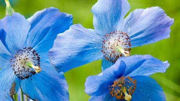 Blue poppy (Meconopsis betonicifolia) profile