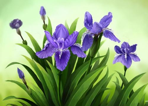 Siberian Iris care